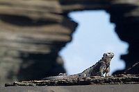 Marine iguana in the Galapagos Islands, Ecuador.