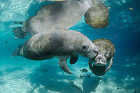 Florida manatee, Trichechus manatus latirostris, a subspecies of the West Indian manatee, endangered. A series chronicling the courting or cavorting behavior between male and female manatees. The male nuzzles female with a fish, bream, Lepomis spp., in the clear blue freshwater. Horizontal orientation with reflection. Three Sisters Springs, Crystal River National Wildlife Refuge, Kings Bay, Crystal River, Citrus County, Florida USA.