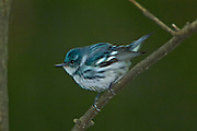 Cerulean warbler (Dendroica cerulea) in Carolinian forest<br /> Point Pelee National Park<br /> ONTARIO<br /> Canada