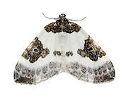 Blue-bordered Carpet - Plemyria rubiginata