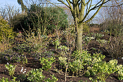 Hellebores - Helleborus x hybridus Ashwood Garden hybrids - planted amongst Cornus officinalis on a bank at Ashwood Nurseries