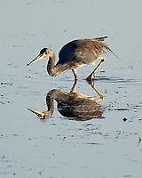 Tricolored Heron (Egretta tricolor). Fort De Soto County Park. St. Petersburg, Florida. Image taken with a Nikon D3s camera and 500 mm f/4 VR lens.