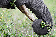 An African elephant (Loxodonta  africana), daintily collects green vegetation in its trunk and transfers it to its mouth.  Tarangire National Park, Tanzania.