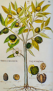 Hand drawn ancient Botanical illustration of a Myristica fragrans (Nutmeg) Tree. Published c 1550