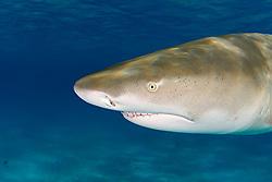 Lemon Shark, Negaprion brevirostris, showing Ampullae of Lorenzini, nostrils, eye, and teeth, West End, Grand Bahama, Bahamas, Caribbean, Atlantic Ocean