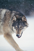 Timber wolf (Canis lupes) in winter