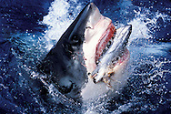 Great white shark , Carcharodon carcharias, breaches out of water to seize tuna fish ( fear , feeding , fish , frenzy ).Guadalupe Islands , Mexico.© Kike Calvo - V&W