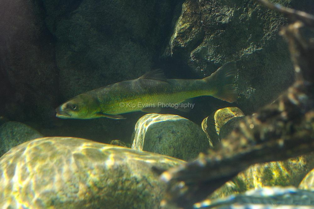 A juvenile California Steelhead Trout swims in a stream.