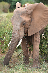 """Photo taken on March 1, 2016 shows an elephant with a tracking device installed by Save the Elephants at Samburu National Reserve in Kenya. In northern Kenya's Samburu region, there lives the second largest group of elephant species in this country. Around them, a number of elephant defenders have watched them day and night for the past 18 years. Founded in 1993, the organization Save The Elephants (STE) has been devoting its attention to secure the future of elephants and battle the ivory poaching. The World Wildlife Day is observed on March 3 with """"The future of wildlife is in our hands"""" being the theme and """"The future of elephants is in our hands"""" being the subtopic this year. EXPA Pictures © 2016, PhotoCredit: EXPA/ Photoshot/ Sun Ruibo<br /><br />*****ATTENTION - for AUT, SLO, CRO, SRB, BIH, MAZ only*****"""