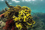 Brown algae (Phaeophyceae)<br /> Punto Moreno, Isabela Island<br /> Galapagos<br /> Ecuador,  South America