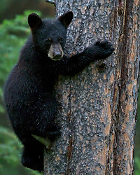 Black Bear Cub, Grand Teton National Park, climbing tree