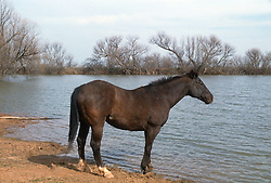 Brown Horse standing by a lake in Lubbock, Texas