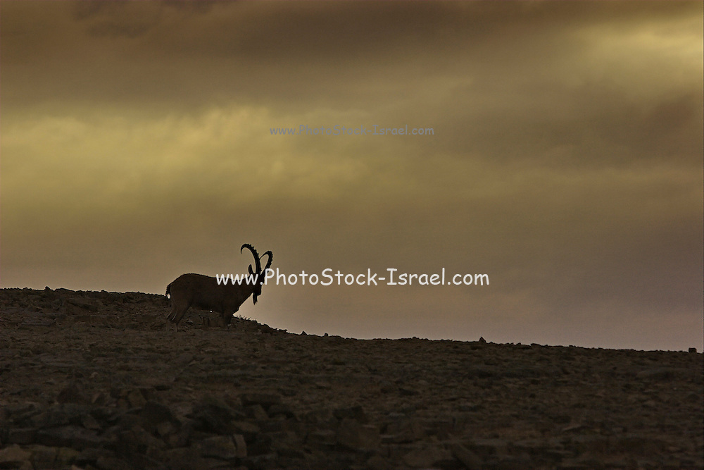 The Ramon Crater, Negev, Israel. Silhouette of a male Ibex, a mountain goat at dusk. Ramon Crater is one of the most spectacular geological features of Israel's Negev Desert, and is the world's largest karst erosion cirque. It is located at the peak of Mount Negev, some 85 kilometers south of the city of Beer-Sheva. The Ramon Crater is 40 kilometers long and 2 to 10 kilometers wide, shaped like an elongated heart.