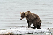A brown bear sub-adult plays on driftwood logs along the beach at the McNeil River State Game Sanctuary on the Kenai Peninsula, Alaska. The remote site is accessed only with a special permit and is the world's largest seasonal population of brown bears in their natural environment.