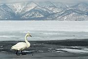 Whooper swan, Cygnus cygnus, lake Kussharo-ko, Hokkaido Island, Japan, japanese, Asian, wilderness, wild, untamed, ornithology, snow, graceful, majestic, aquatic