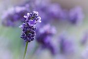 USA, Oregon, Keizer, lavender in the backyard