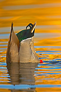 Mallard, Anas platyrhynchos, male, head in water, duck diving, tail in air, feeding, Lakewood, Colorado  aquatic-birds close-ups details fowl free independence  natural-world ornithology untamed  waterfowl web-footed wild Zoology. . Mallard (Anas platyrhy