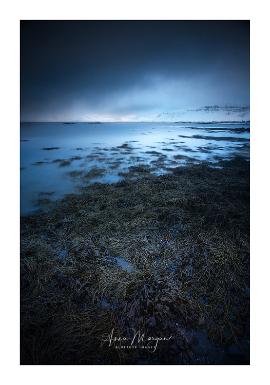 Twilight over Grundarfjordur bay, Iceland with seaweed and kelp at low tide and snow covered mountains in background creating a moody atmosphere