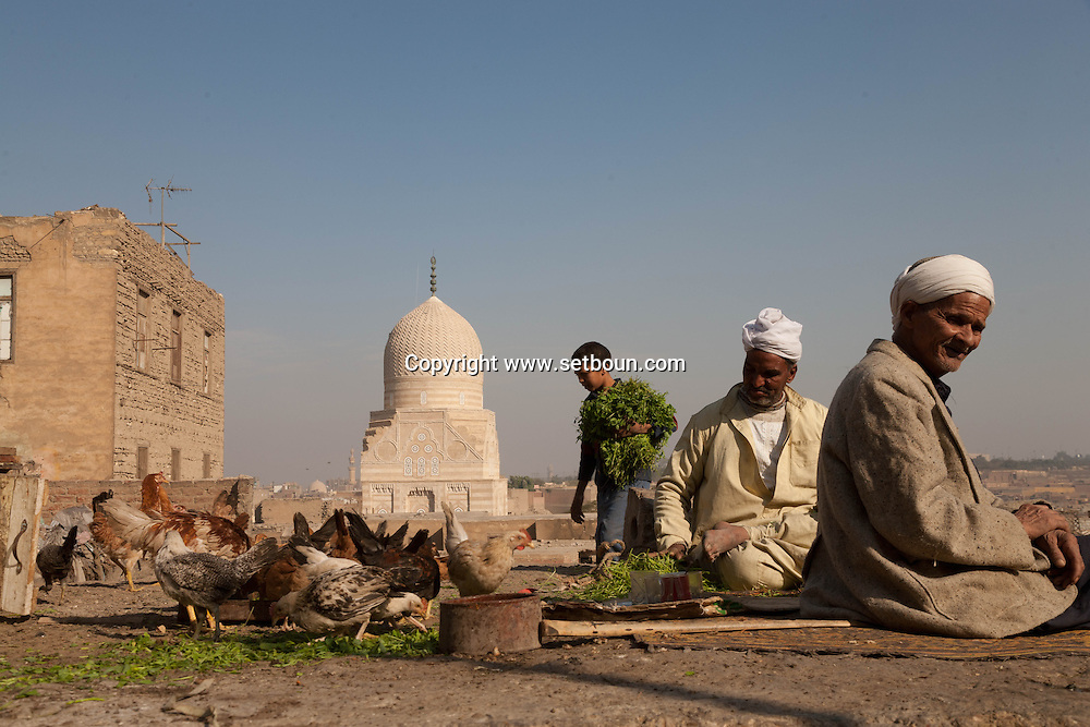 Egypt . Cairo : CATTLE  breeders in the cemetery north in the background the MAUSOLEUM of TARABAY ASH Sharifi - AFTER renovation - islamic Cairo   NM255
