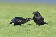 Raven - Corvus corax