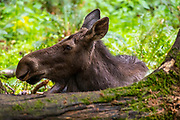 A female moose (Alces alces) rests in a forested area of a wildlife sanctuary in Washington state. Moose are known as elk in Eurasia, and are the largest members of the deer family.