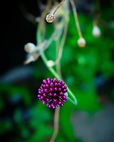 Backyard Wildflowers (Purple Allium). Image taken with a Fuji X-H1 camera and 80 mm f/2.8 macro lens