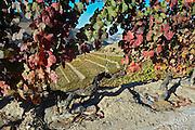 autumn colours vineyard quinta do seixo sandeman douro portugal