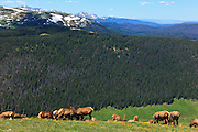 USA, Colorado, Rocky Mountain National Park, a herd of  Elk (Cervus elaphus canadensis) in the high country.
