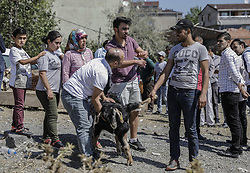 September 1, 2017 - Istanbul, Turkey - Turkish people try control their animals that will be sacrificed during Eid-al-Adha celebrations in Istanbul. Eid al-Adha is one of the most important feasts on the Muslim calendar. It marks the yearly Muslim pilgrimage (Hajj) to Mecca, the holiest place in Islam. On the occasion Muslims slaughter sacrificial animals and split the meat into three parts, one for the family, one for friends and relatives, and one for the poor and needy. The slaughter commemorates the biblical story of Abraham, who was on the verge of sacrificing his son Ismail to obey God's command when God interceded by substituting a ram in the child's place. (Credit Image: © Can Erok/Depo Photos via ZUMA Wire)