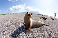 Galapagos sea lion on beach in the Galapagos Islands, Ecuador.