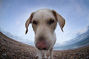 golden labrador dog on a beach with nose up to the lens<br />