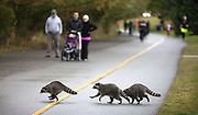 Three members of a raccoon family make a break for it across the Green Lake Trail towards the water bringing all human traffic to a halt. (Steve Ringman / The Seattle Times, 2012)