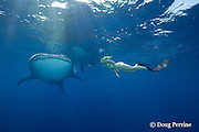 whale shark, Rhincodon typus, and snorkeler, Kona Coast, Hawaii Island ( the Big Island ), Hawaiian Islands, USA ( Central Pacific Ocean ) MR 360