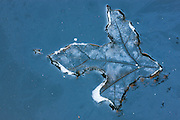 An oak leaf leaves an impression in the ice covering a small pond in Snohomish County, Washington. The leaf fell on the pond after it froze and protected the ice immediately beneath it from sublimation, a natural process where ice transitions into vapor without turning to liquid first. This is the same process that causes a snow on a field to vanish during a prolonged cold spell. Reflections of trees surrounding the pond are visible around the edges of the leaf impression.