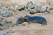 6.5 year old male Hawaiian monk seal, Neomonachus schauinslandi, investigates satellite tag on recently weaned 56 day old male pup with transmitter at Keokea Beach Park, Niulii, North Kohala, Hawaii Island ( the Big Island ), Hawaii, U.S.A. (9 days after weaning)