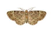 70.143 (1859)<br /> Sloe Pug - Pasiphila chloerata