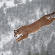 Mountain lion jumps from a dead tree, Bridger Mountains, Montana. Captive Animal