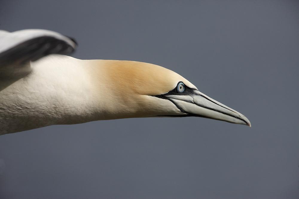 Gannet (Sula bassana) Saltee Islands Ireland