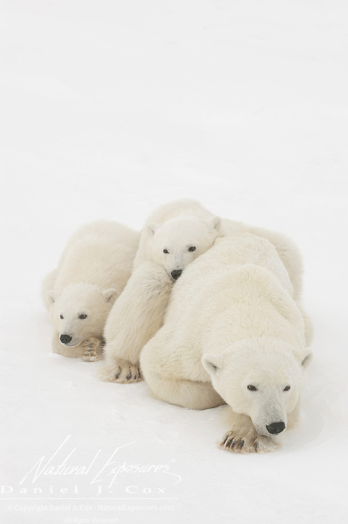 Polar bear (Ursus maritimus) cubs of the year waiting patiently near their mother for the ice to freeze at Cape Churchill, Manitoba, Canada.