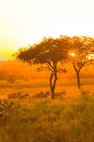 Zebras running under an acacia tree at sunset, Tarangire National Park, Tanzania