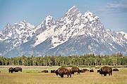A herd of North American Bison graze in the grasslands along Elk Ranch Flats with Mount Moran and the Grand Teton mountains at the Grand Teton National Park in Moran, Wyoming.