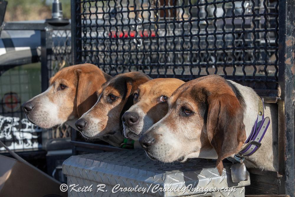 White Dog's Walker coonhounds during a 2019 Idaho spring black bear hunt