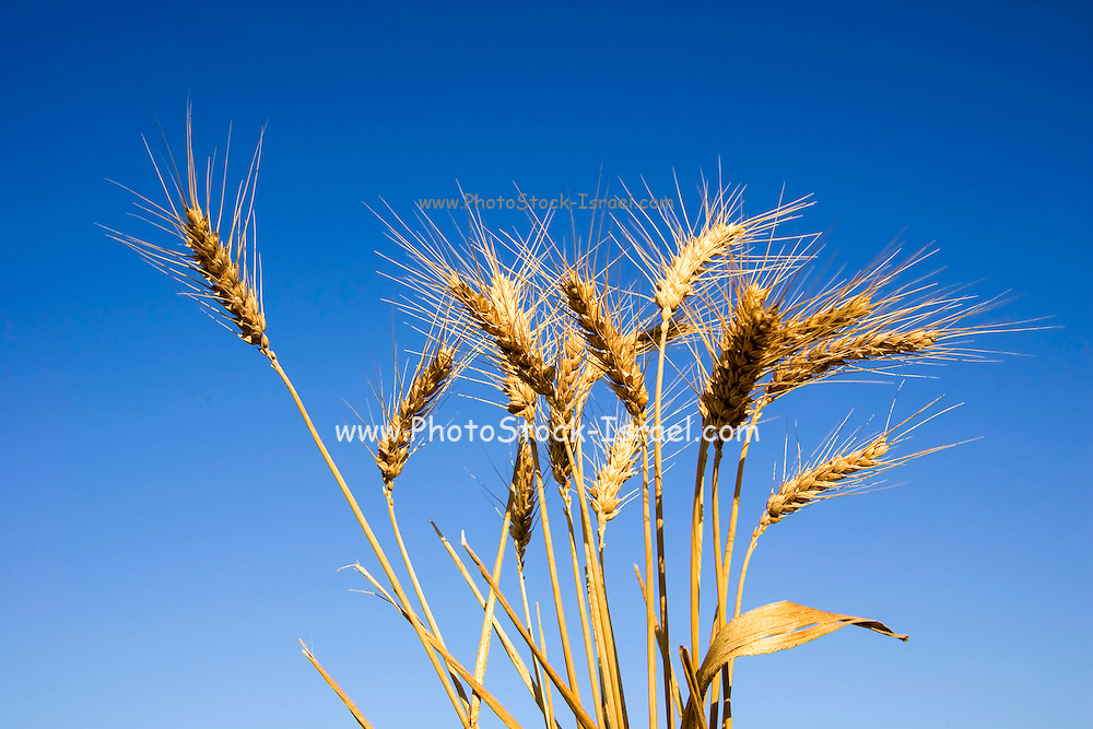 Ripe wheat stalks on a blue sky background
