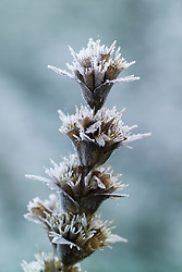 Seedheads of Morina longifolia rimed with frost