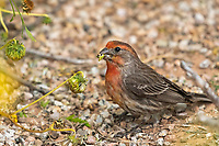 Male House Finch, Haemorhous mexicanus, feeds on flowers in the Riparian Preserve at Water Ranch, Gilbert, Arizona