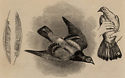 Carrier pigeon used to carry dispatches out of Paris during the Franco-Prussian War (1870-1871). The message was attached to the central tail feather.  Other tail feathers were stamped for identification.  Engraving (London, November 1870).
