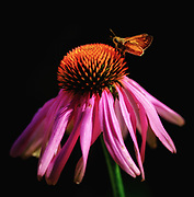 Morning Light in the Garden. Flower and moth.