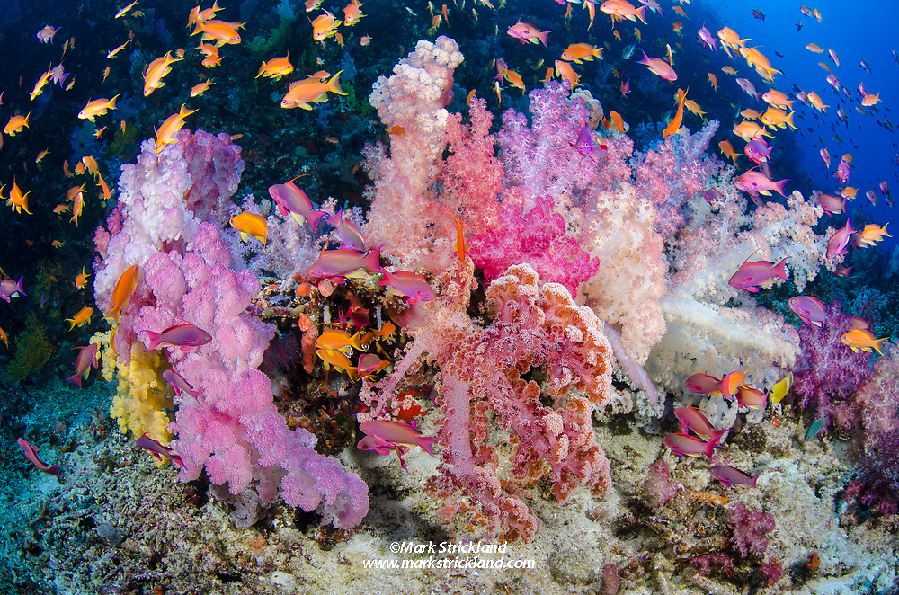 Colorful soft corals, surrounded by Anthias fish. Vatu-i-ra, Bligh Water, Fiji, Pacific Ocean