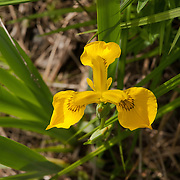 Wild Yellow Iris - Iris pseudacorus at the Ipswich River Wildlife Santuary, Topsfield, MA