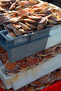 Fresh Scallops in shells being landed in boxes. Honfleur - France.